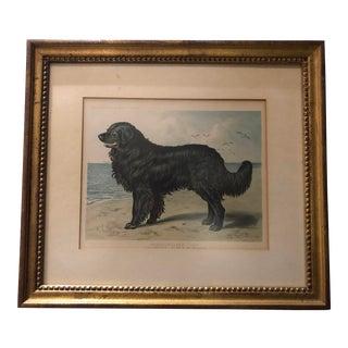 1885 Antique British Framed Newfoundland Dog Art For Sale