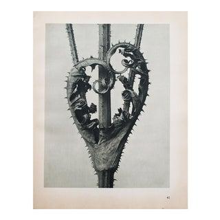 Karl Blossfeldt Photogravure N41-42, 1935