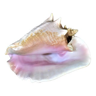 Pink Bahama Queen Conch Shell