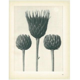 1928 Serratula Nudicaulis, Original Period Photogravure N83 by Karl Blossfeldt For Sale