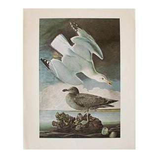 1966 Vintage Cottage Print of Herring Gull by Audubon For Sale