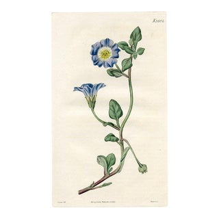 Chilean Bell Flower, 1825 Botanical Print For Sale