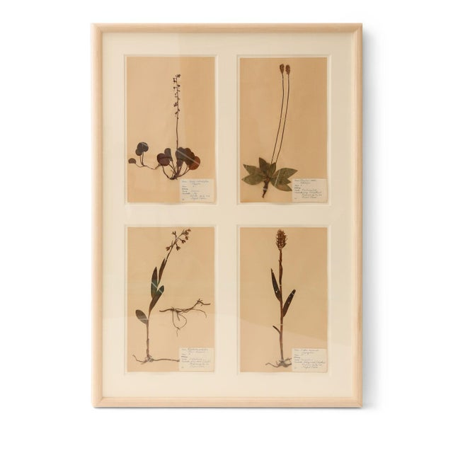 Framed set of four vintage herbaria (circa 1930-1949, Sweden). Each herbarium (botanical) measures 15.75 inches high x 9.5...