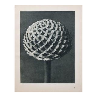 Karl Blossfeldt Photogravure N67-68, 1935