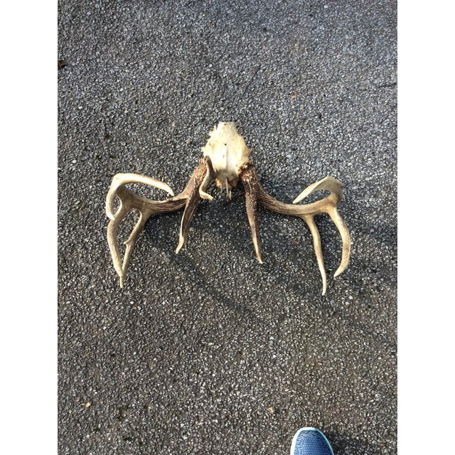 Mid 20th Century Deer Antlers, 11 Points For Sale In Greenville, SC - Image 6 of 7