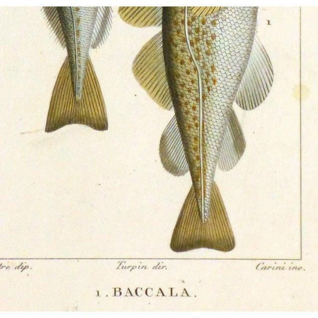 Freshwater Fish Engraving Print, C. 1830 - Image 3 of 4