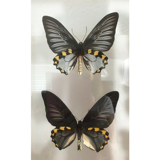 Blue Morpho's & Ulysses Box Framed Butterflies Wall Panel Hangings - Set of 3 For Sale In Tampa - Image 6 of 13