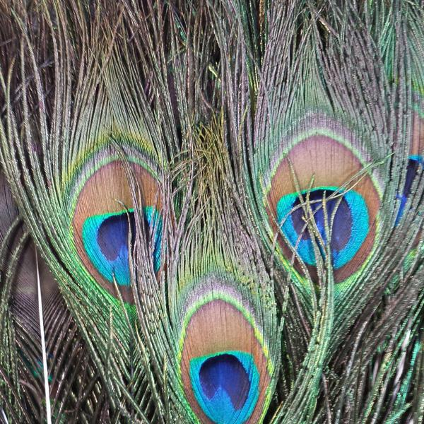 50 piece grouping of natural peacock feathers. The peacocks naturally shed these lovely feathers as they grow, then they...