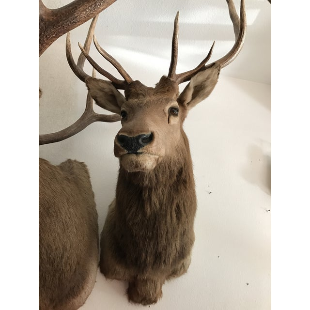 Rocky Mountain Elk Taxidermy Mount - Image 6 of 6