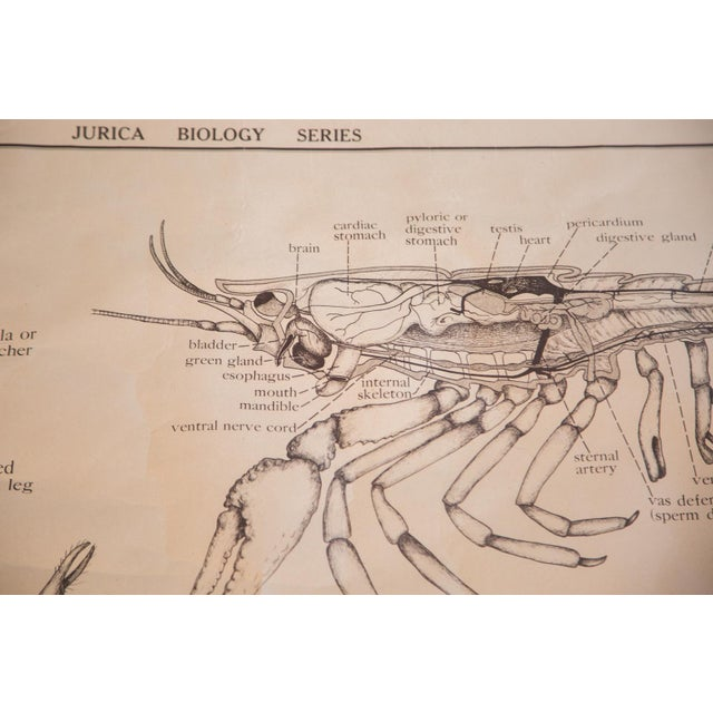 Early 20th Century Pull Down Chart of Lobster - Image 7 of 8