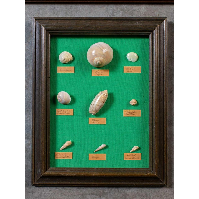 1960s Vintage French Sea Shells - Collection of 8 For Sale - Image 4 of 13