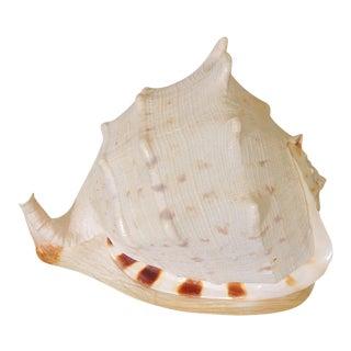 Massive Natural Sea Shell For Sale