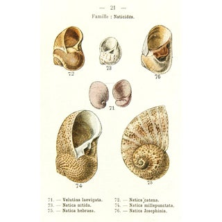 Antique Seashells Print, 1913