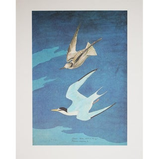 1960s Cottage Style Lithograph of a Lesser Tern by John James Audubon