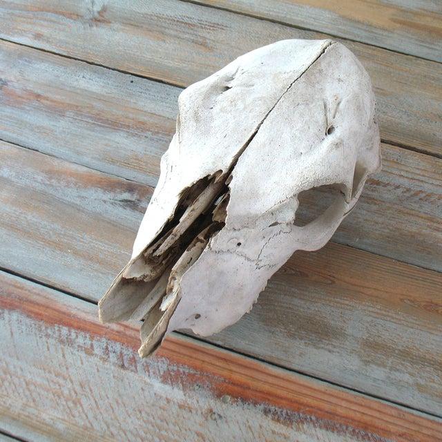 Vintage Cow Skull - Image 5 of 7
