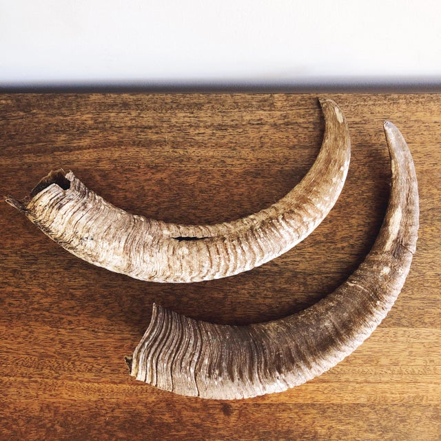 Cabin Vintage Natural Ram's Horns - a Pair For Sale - Image 3 of 7