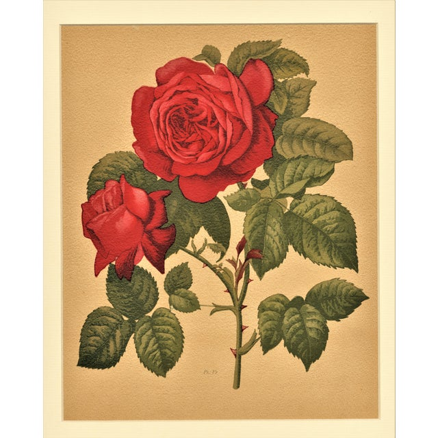1880 Antique Rose Botanical Chromolithograph - Image 1 of 4