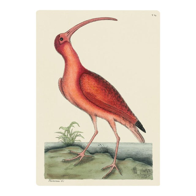 Mark Catesby Print of Red Curlew, Plate 84 For Sale