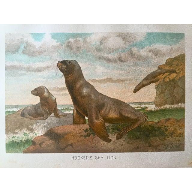 Antique Lithograph Sea Lion C.1906 For Sale - Image 4 of 4