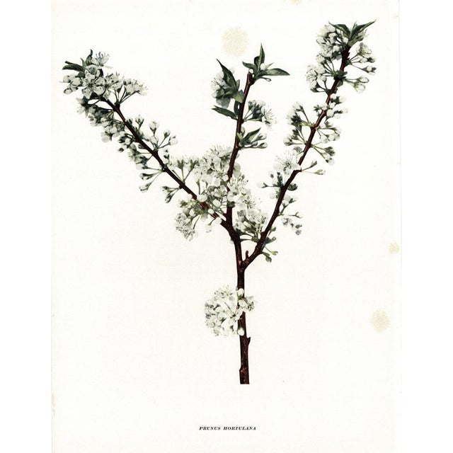 American Classical 1900s Original Cherry Blossom Photogravures by Hedrick - a Pair For Sale - Image 3 of 11