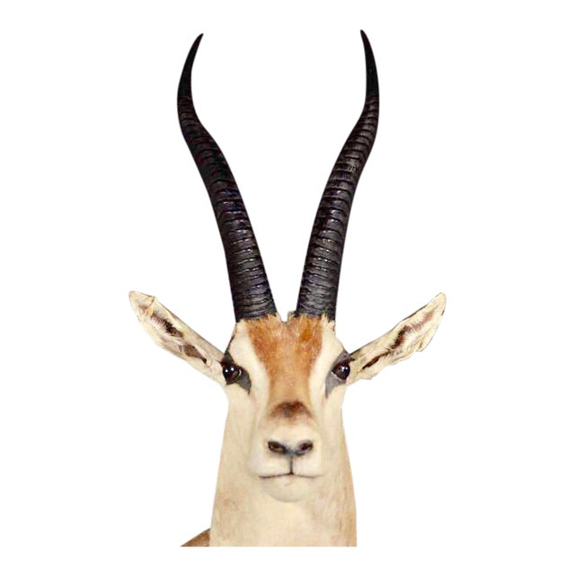 Vintage African Antelope Gazelle Mounted Taxidermy For Sale