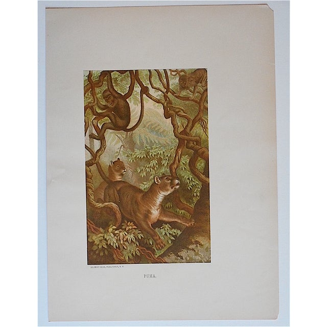Primitive Antique Puma Lithograph Print For Sale - Image 3 of 3