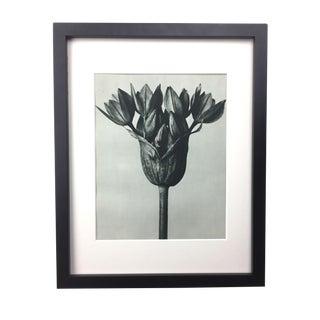 Framed Antique Photogravure Blossfeldt Botanical Print - No. 94 For Sale