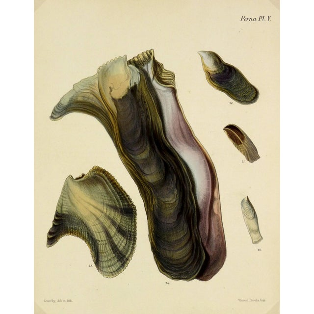 Antique 1878 Sea Shells Oyster Print - Image 1 of 3