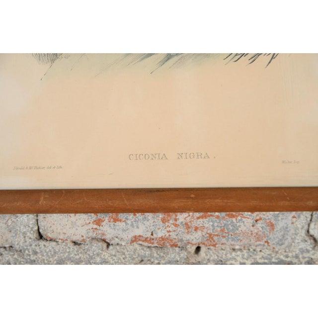 "John Gould ""Ciconia Nigra-Black Stork"" Bird Print - Image 5 of 7"