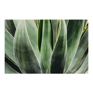 """Yucca Close Up"" Original 24x36 Photograph For Sale"