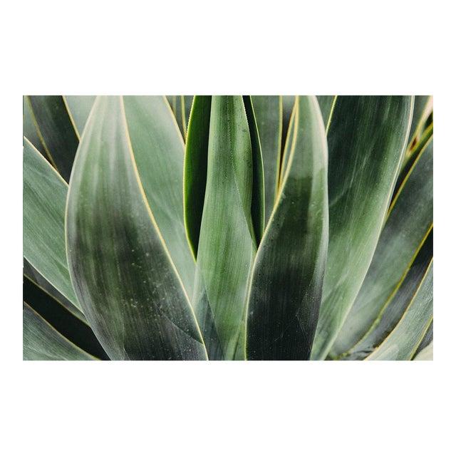 """Yucca Close Up"" Original 24x36 Photograph For Sale"