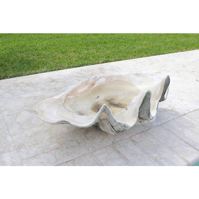 Complete Large-Scale Tridacna Gigas Clam Shell, Southern Pacific Ocean Reefs - a pair For Sale - Image 9 of 10