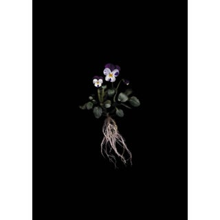 Viola - Botanical Photograph by Francesca Wilkinson For Sale