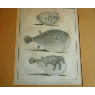 18thC. French Antique Engraving of Puffer Fish Species Preview