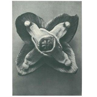1928 Original Photogravure N72 of Muschi's Barren-Wort by Karl Blossfeldt For Sale