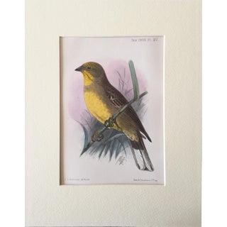 Antique Ornithological Cineraceous Bunting Print