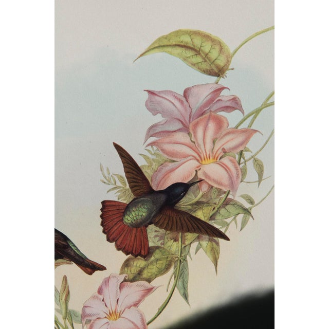 1940s John Gould Hummingbird Lithographs - Set of 6 (Marked Down to $35 Until September 15th) - Image 6 of 11