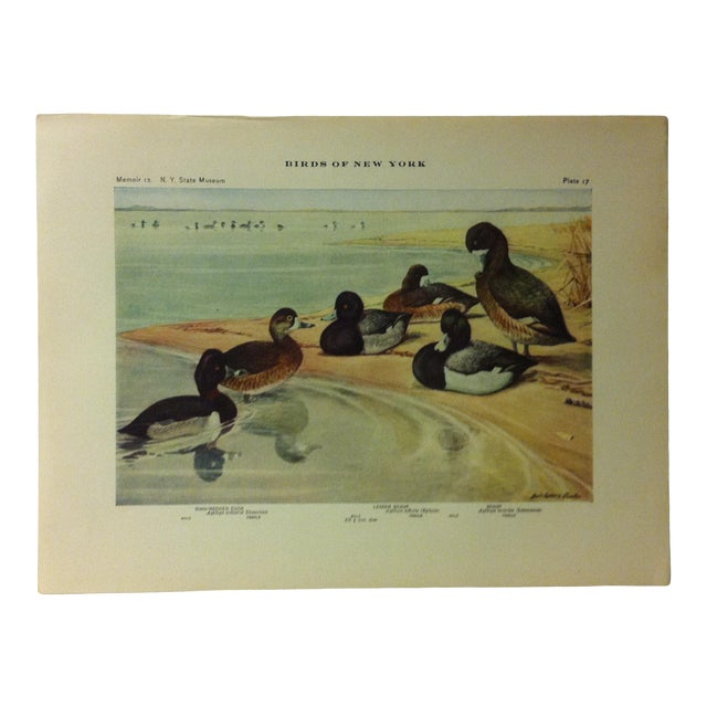 """1925 """"Lesser Scaup - Ring Necked Duck"""" the State Museum Birds of New York Print For Sale"""