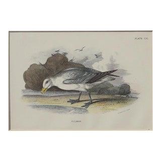 1890 Fulmar Sea Bird Chromolithograph