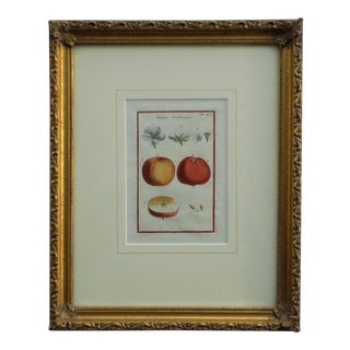 Mid 19th Century Vintage Apple Print For Sale