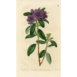 Siberian Rhododendron, Botanical Print
