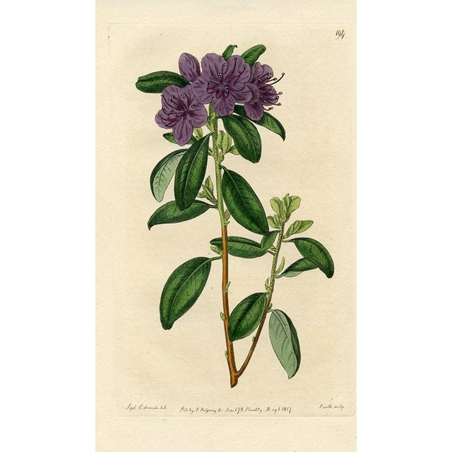 Siberian Rhododendron, Botanical Print - Image 1 of 3