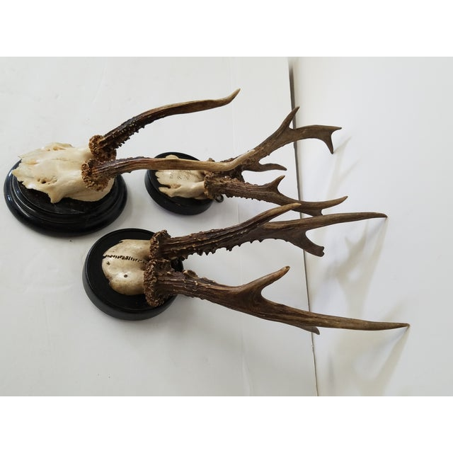 Rustic European Antique Decorative European Roebuck Horns or Antlers Mounted on Round Ebonized Plaques- Set of 3 For Sale - Image 3 of 4