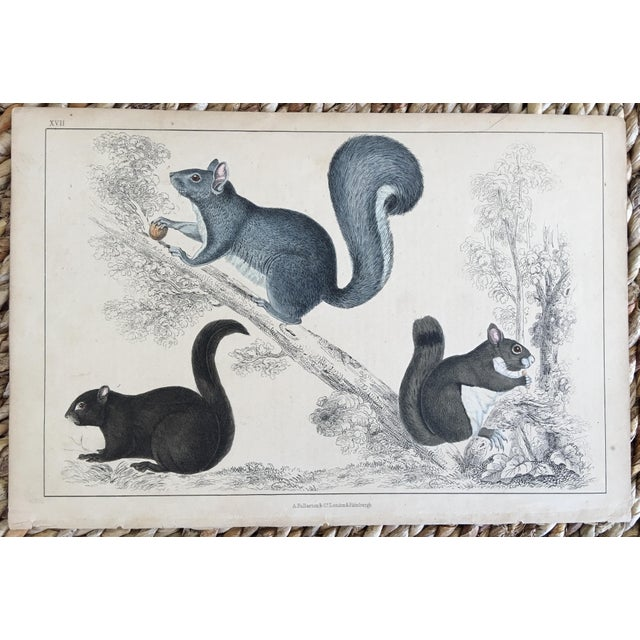 Illustration 19th Century Goldsmith Squirrel Engraving For Sale - Image 3 of 3
