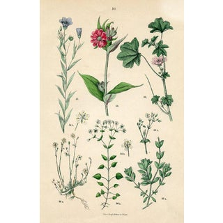 19th-Century Italian Botanical Print, Including Maltese Cross For Sale