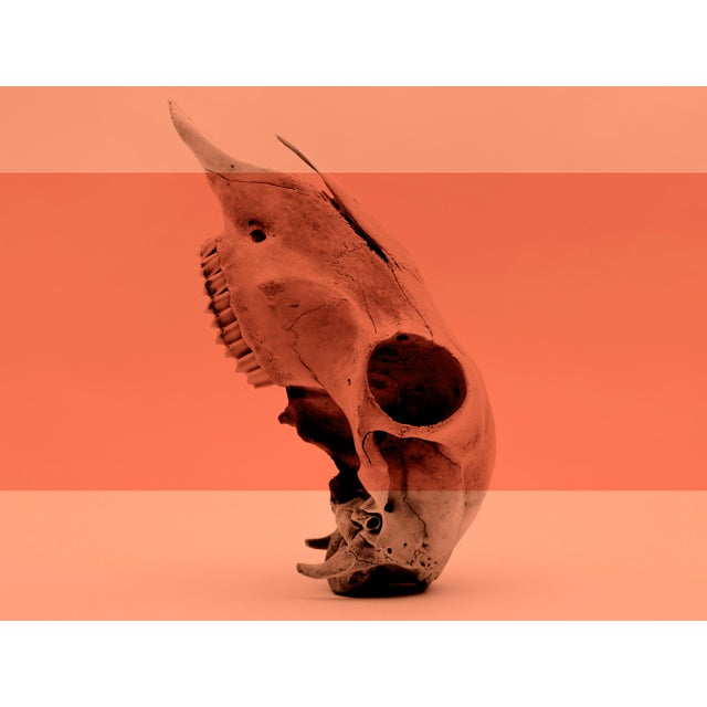 A Still life study of a Sheep skull, monotone with digitally added colour. Forever a symbol of both life and death, the...