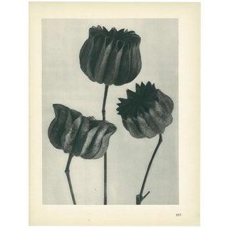 1928 Lime-Mallow, Original Period Photogravure N103 by Karl Blossfeldt For Sale