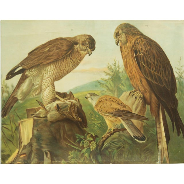 Birds of prey probably made in the 1960s. Print on paper. PLEASE ADD PROPER DEPTH MEASUREMENT