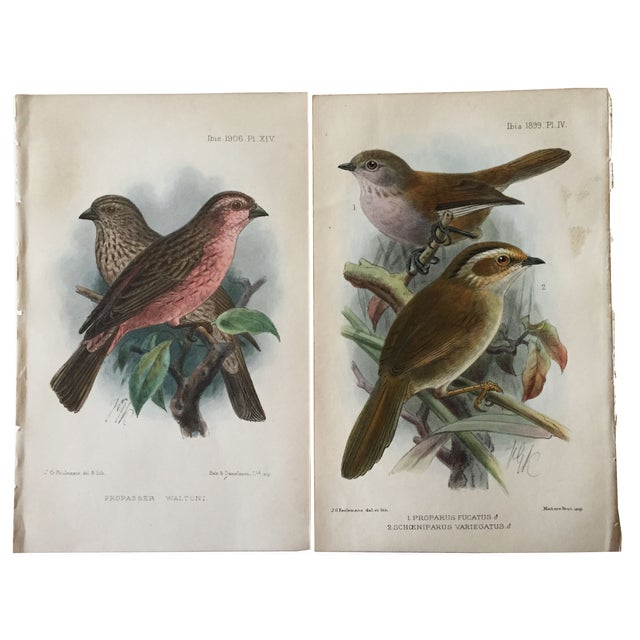 Original pair chromolithographs of birds. Published in Isis Ornithological Journal, one in the 1906 edition and one in...