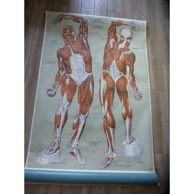 Vintage American Frohse anatomy chart - Muscular System . This classroom pull-down chart is in excellent condition. It...